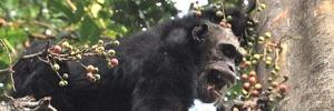 Chimpanzee Warfare?